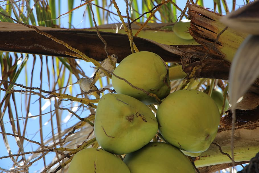 Different Types of Coconuts