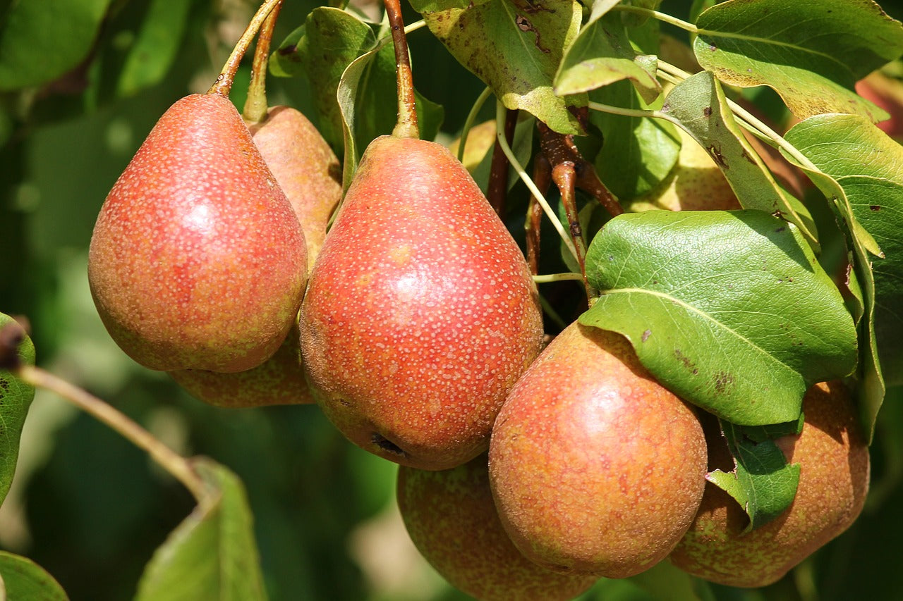 What Is Pome Fruit?
