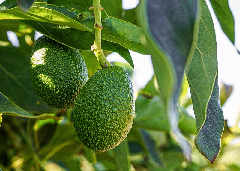 Avocados on the branch