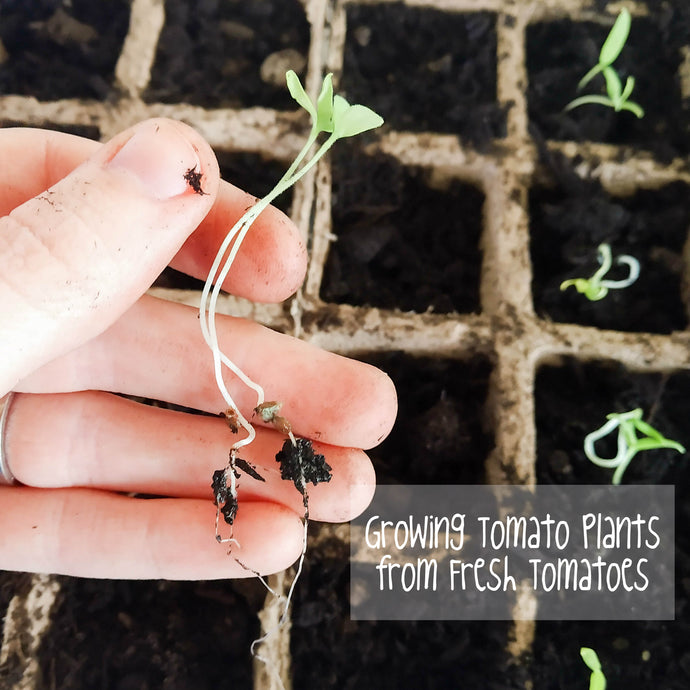 Growing Tomato Plants from Fresh Tomatoes