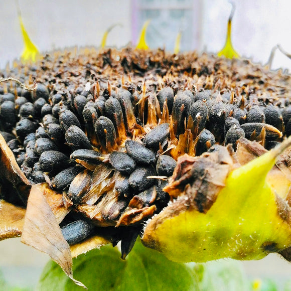 Natural SunFlower Seeds-Whole Black-Edible 1 Kg