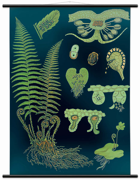 The Male Fern Wall Chart