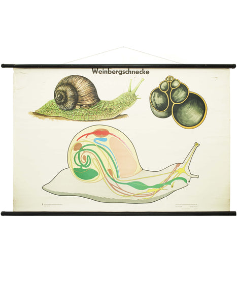 VINTAGE GERMAN SNAIL WALL CHART
