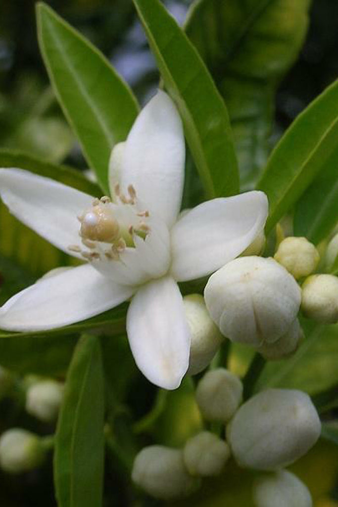 Organic Neroli Essential Oil