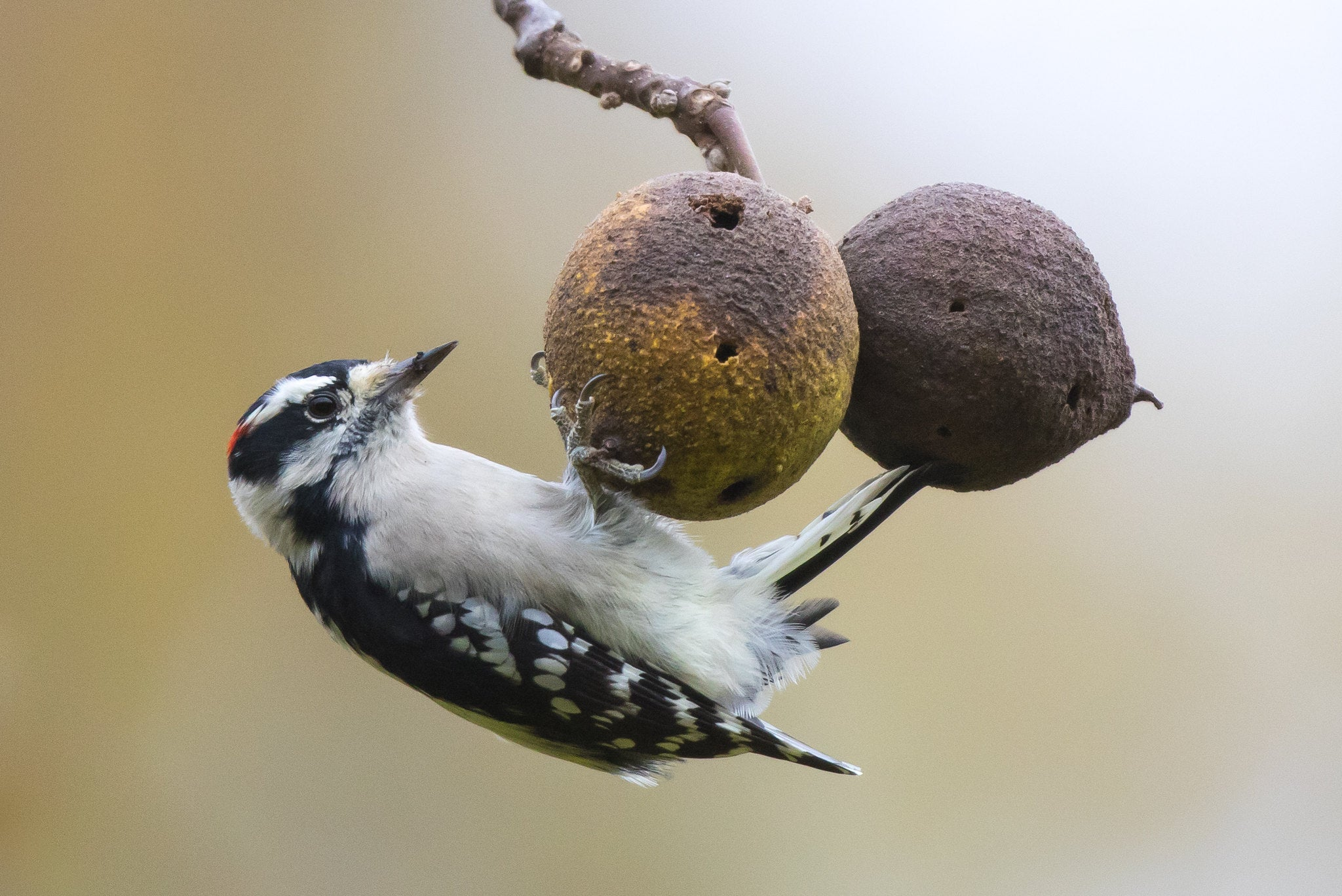 Downy Woodpecker at Bendix Woods