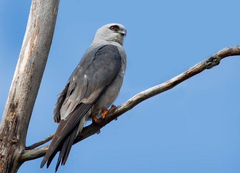Mississippi Kite on Indiana Birding Trail