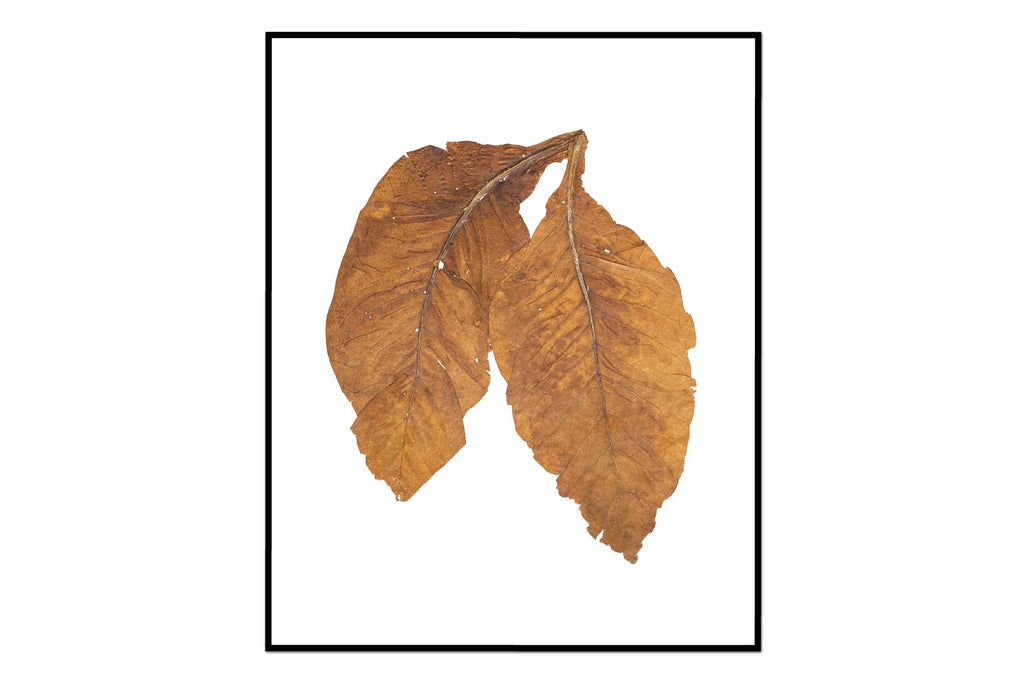 Carolina Gold Leaves