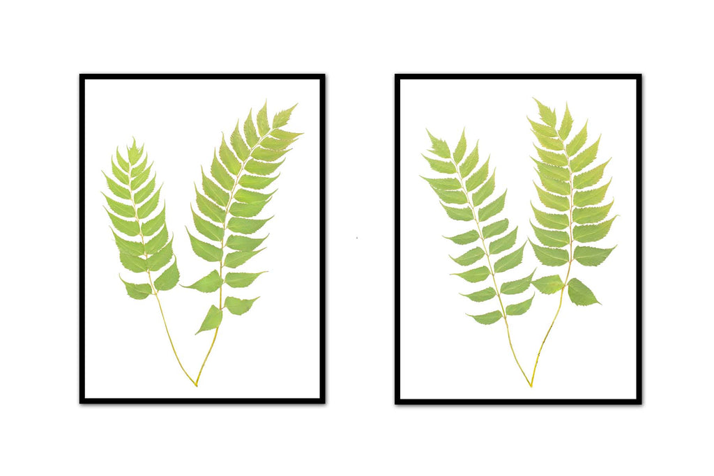 Holly Fern Pair