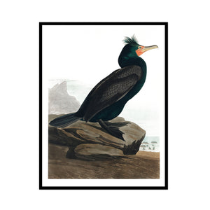Vintage  Dark and Coral Beak Shorebird