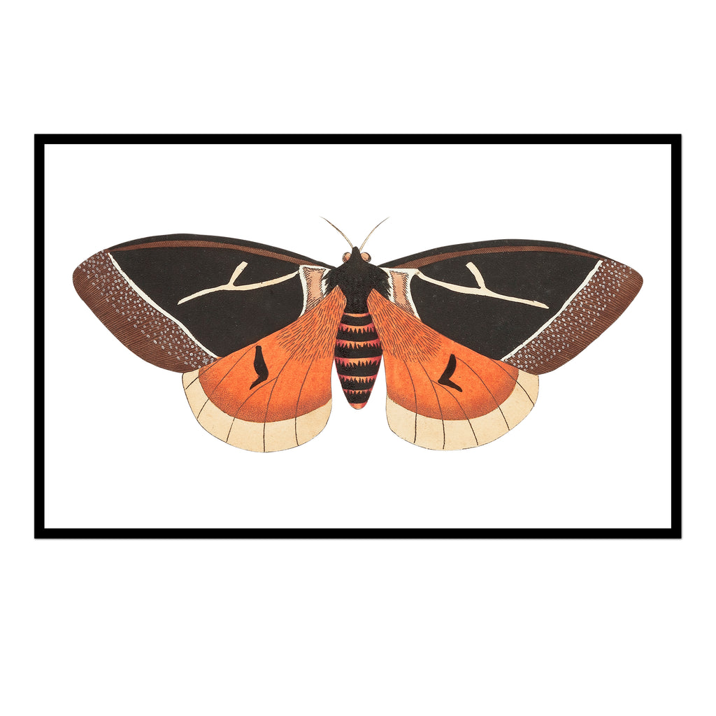 Orange & Black Moth