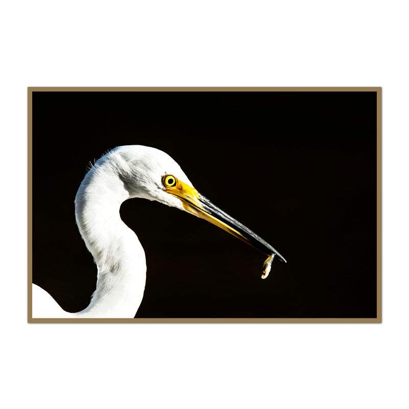 Great White Egret and His Minnow