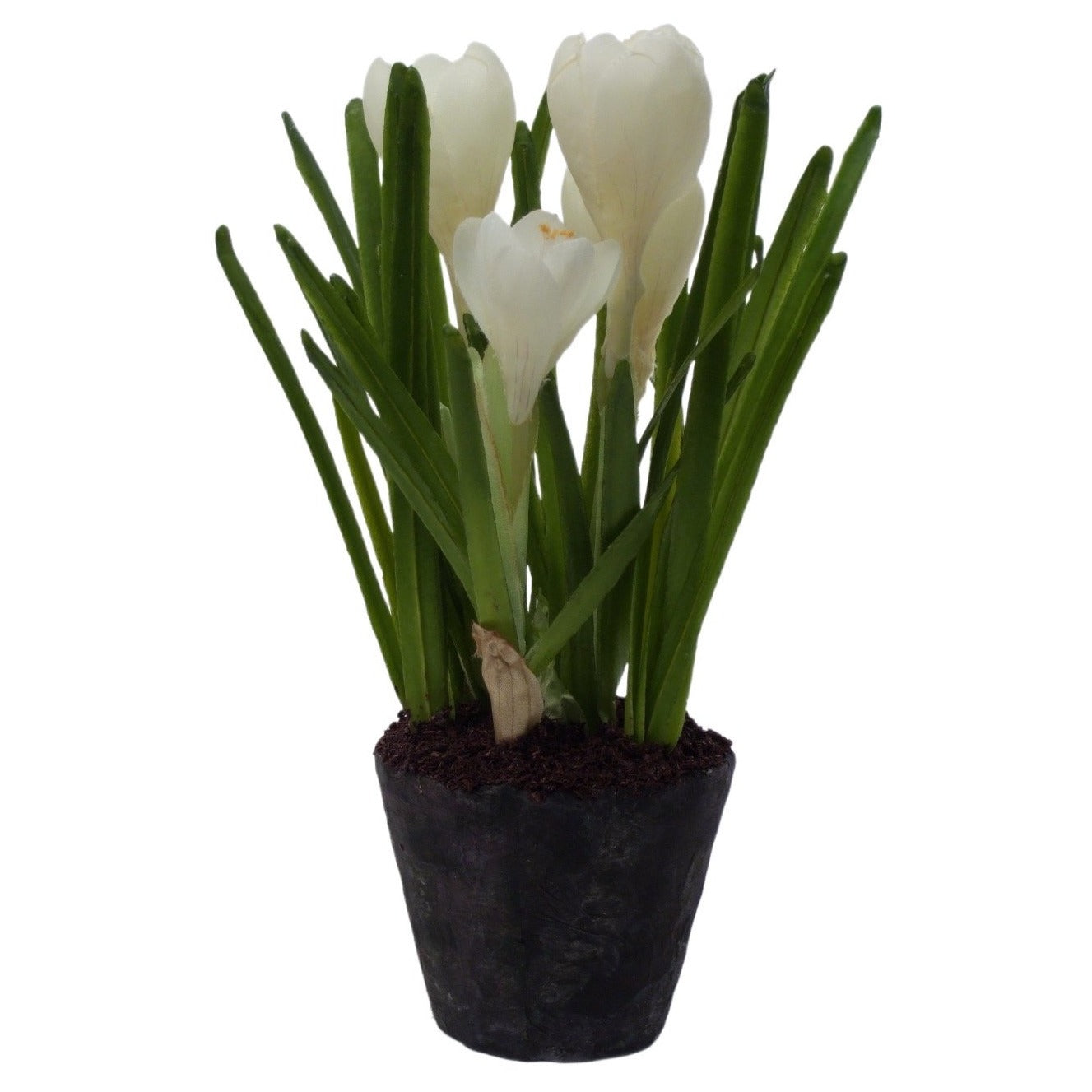 4 Bulb Crocus in Soil in White