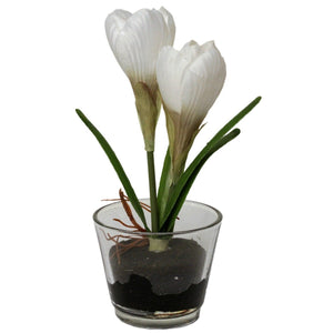 Single Bulb Crocus in Glass in White