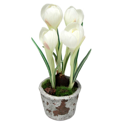 3 Bulb Crocus in Pot in White