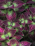 Coleus , Sun Coleus, Painted Nettle
