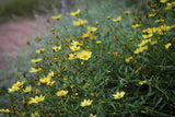 Tickseed, Big Bang Coreopsis, Coreopsis