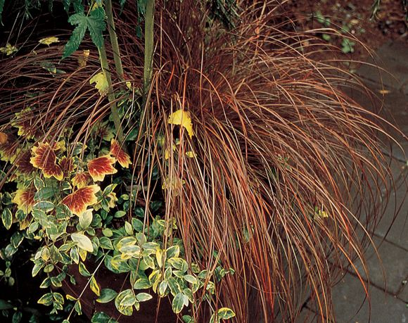 Sedge, Ornamental Grass, Graceful Grasses