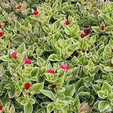 Succulent, Heartleaf Ice Plant