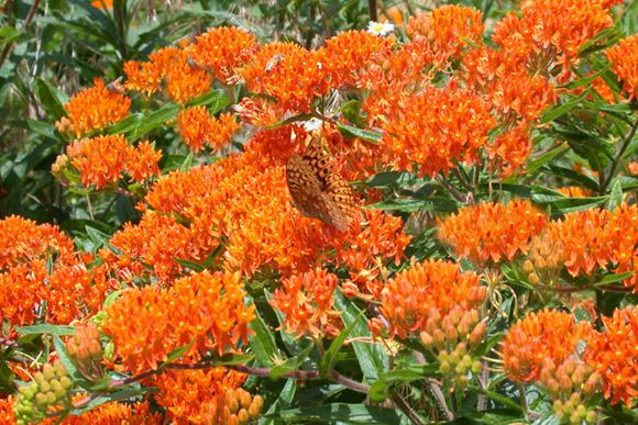 Butterfly Weed, Milkweed, Indian Paintbrush