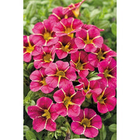 Calibrachoa, Million Bells, Superbells