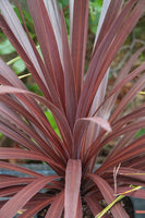 Cordyline, False Dracaena