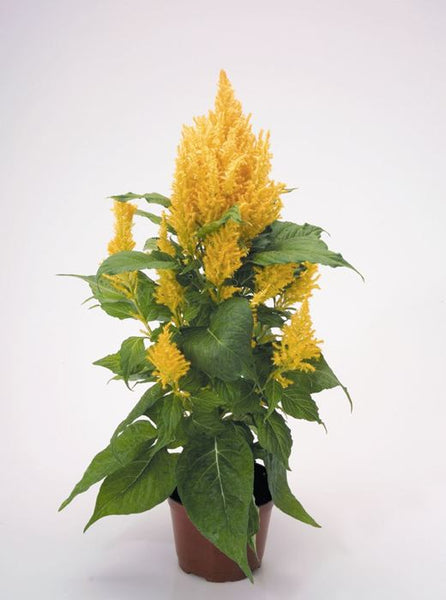 Feather Celosia