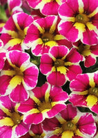 Calibrachoa Candy Shop Fancy Berry