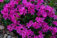 Creeping Phlox, Flowering Moss