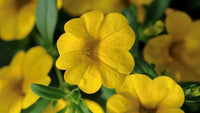 Calibrachoa Hybrida Cabaret Deep Yellow