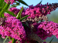 Butterfly Bush, Dwarf Butterfly Bush