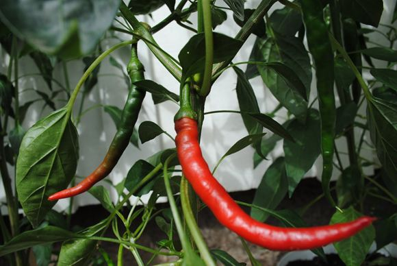 Cayenne, Hot Pepper