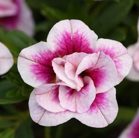 Calibrachoa, Million Bells