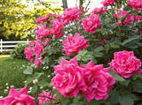 Double Knock-Out Rose