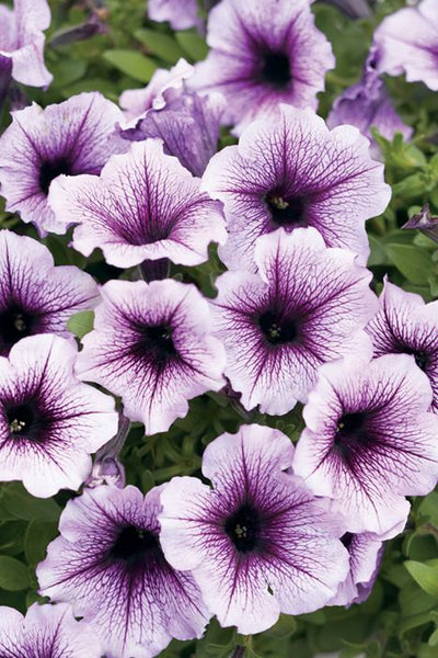 Petunia, Spreading Petunia, Supertunia