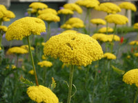 Yarrow, Cloth of Gold