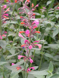 Hummingbird Mint, Mexican Giant Hyssop