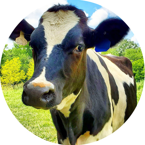 Moonpie the Dairy Cow