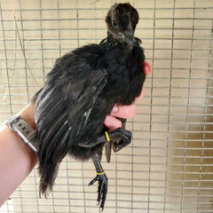 An Ayam Cemani Growout from 2020
