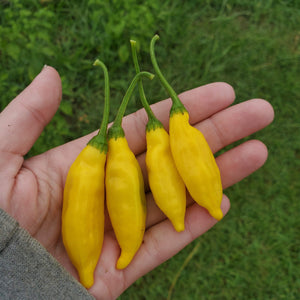 Lemon Drop Peppers by Roots and Dreams Farm