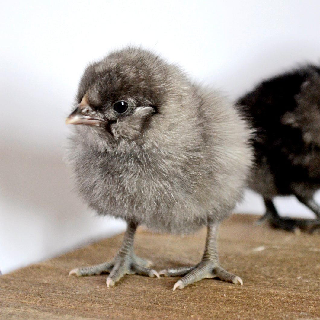 Fibro Mint Egger Chicks from Roots and Dreams Farm