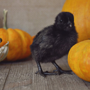 Ayam Cemani Chicks from Roots and Dreams Farm