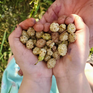 Hand Full of Freshly Picked Mulberries