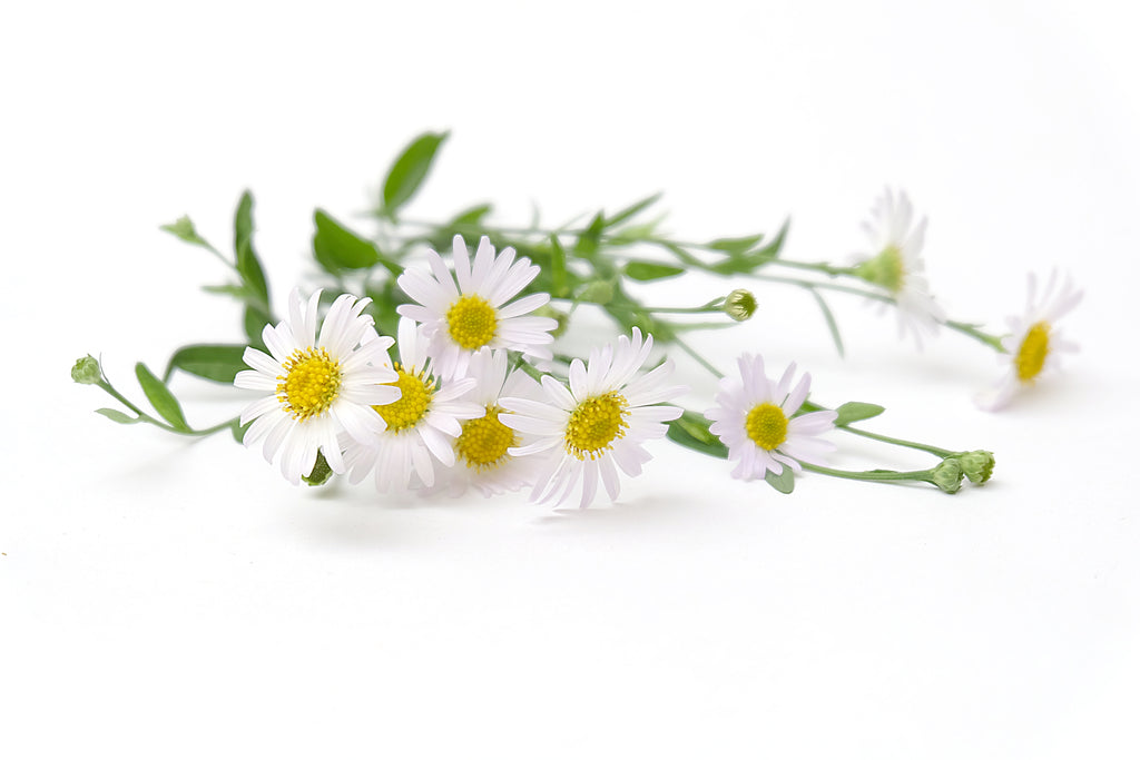 Organic Chamomile's antimicrobial reduce inflammation irritation with skin conditions atopic eczema and rosacea.