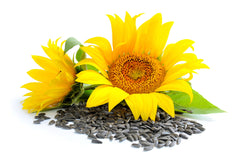 Sunflower Oil's anti-viral and anti bacterial properties help dermatitis, eczema, and psoriasis.