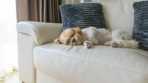 Sweet Dreams For You And Your Goldendoodle