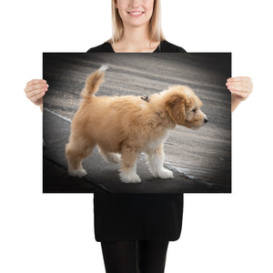 Goldendoodle Puppy Photo Paper Poster - Zabbow Goldendoodle Pet Products