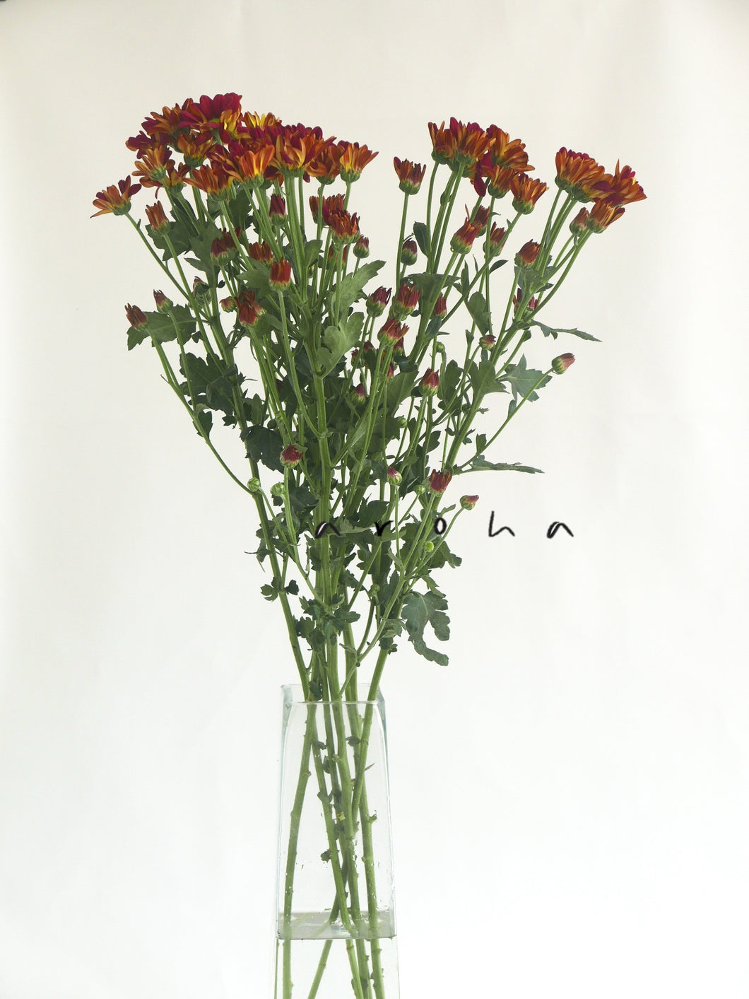 Aster (Red)
