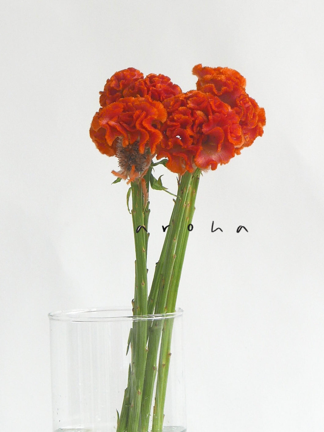Celosia (Orange)