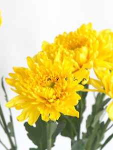 Chrysanthemum (Yellow)