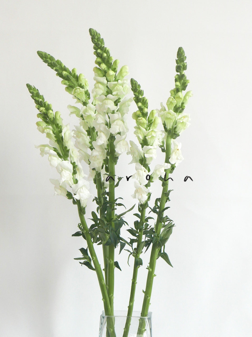 Snapdragon (White)